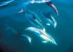Hector Dolphins in Akaroa